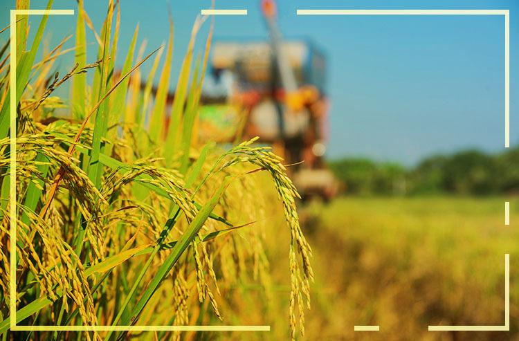 Dia Internacional do Arroz (31/10): Você sabe a importância do arroz?