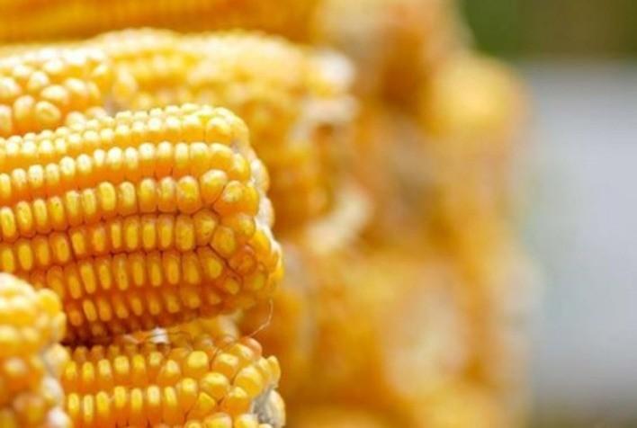 Custo da produção de milho em Mato Grosso sobe 7,44%