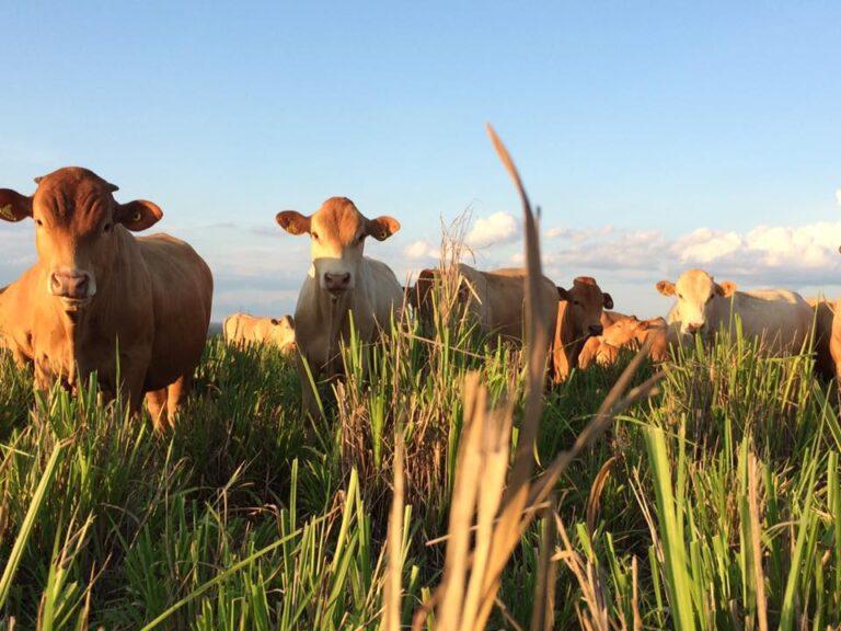 Fazenda Arinos em Diamantino (MT) é reconhecida pelo MAPA como livre de brucelose sem vacinação