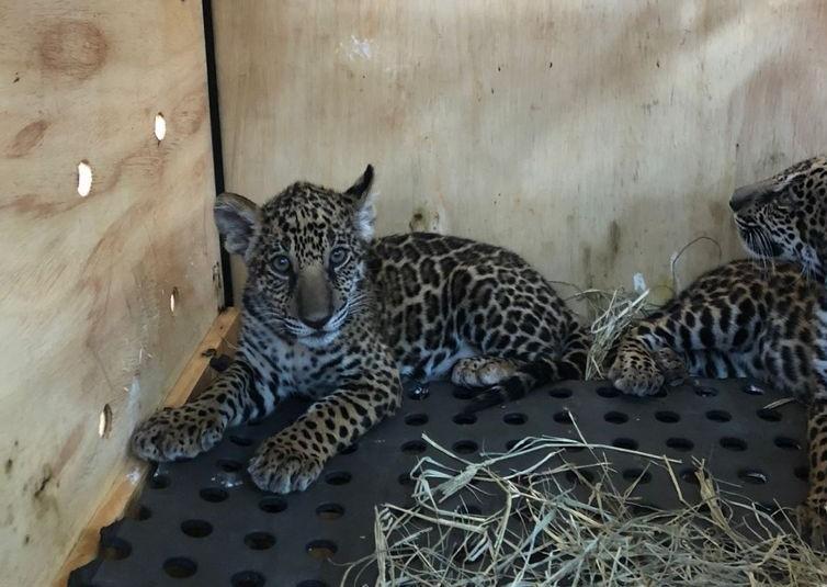 Filhotes de onça-pintada e lobo-guará embarcam para Zoológico de Brasília