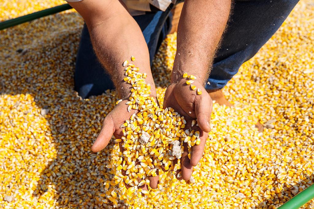 Produtores de Mato Grosso intensificam venda de milho e preço melhora 4,35%