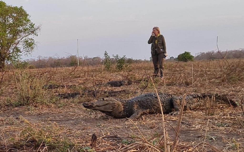 Sema monitora migração natural de jacarés no Pantanal; veja vídeo